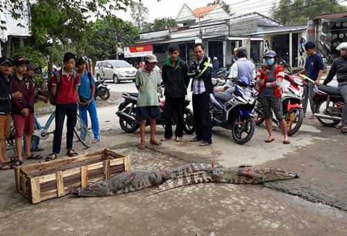 Dùng băng keo bịt miệng cá sấu , mang ra chợ bán